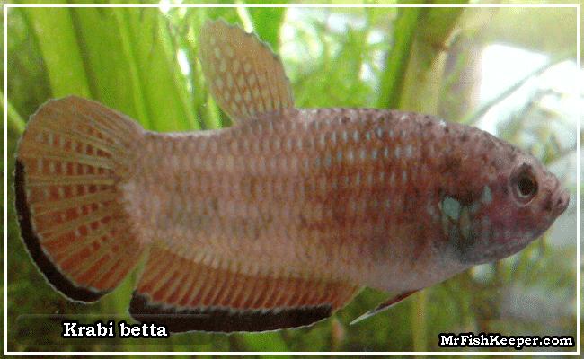 Krabi betta