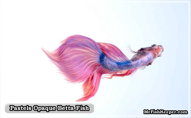 Pastels Opaque betta fish