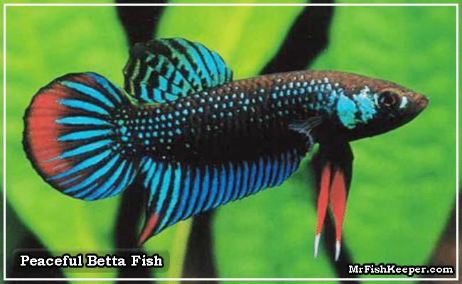 Peaceful Betta Fish