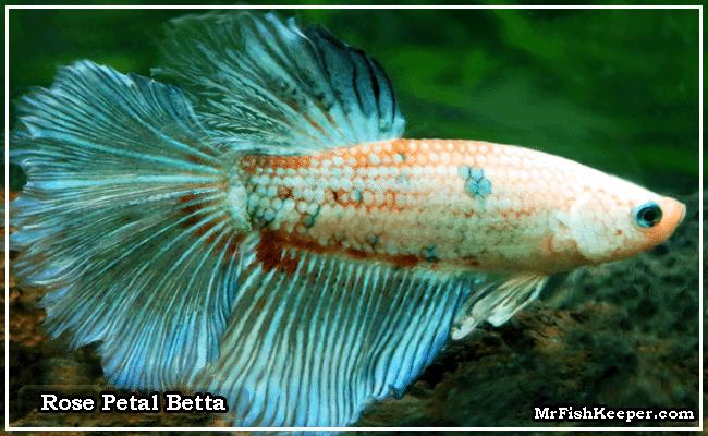 Rose Petal Betta