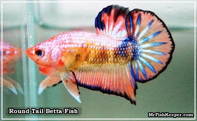 Round Tail Betta Fish