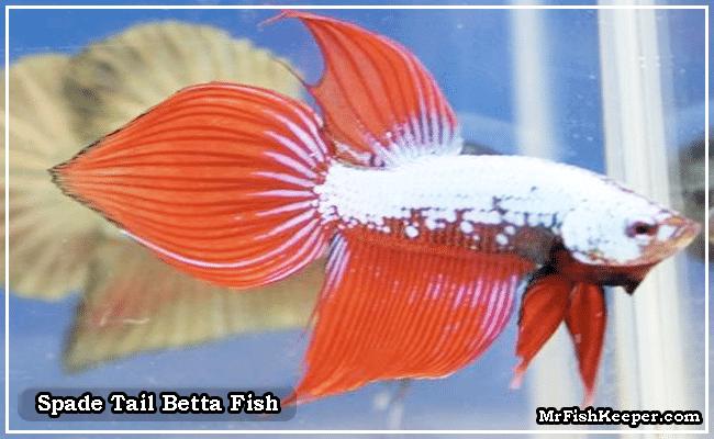 Spade Tail Betta Fish