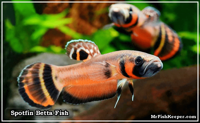Spotfin Betta Fish