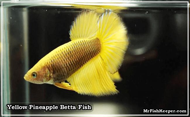 yellow pineapple betta fish